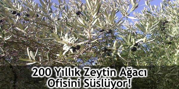 200 Yıllık Zeytin Ağacı Ofisini Süslüyor!