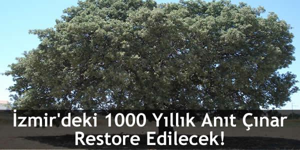 İzmir'deki 1000 Yıllık Anıt Çınar Restore Edilecek!