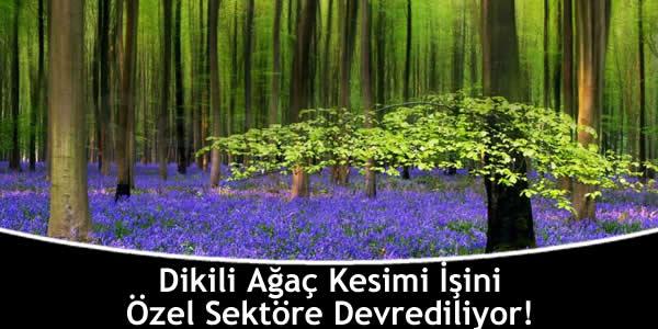 Dikili Ağaç Kesimi İşini Özel Sektöre Devrediliyor!