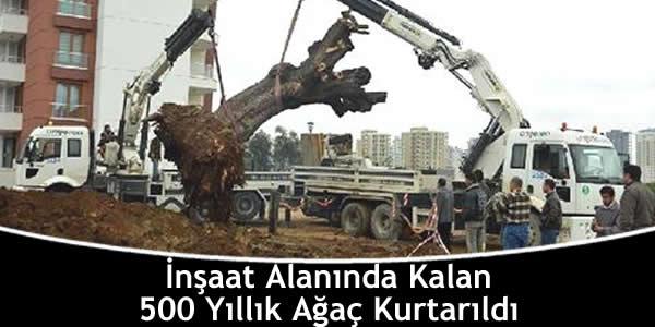 İnşaat Alanında Kalan 500 Yıllık Ağaç Kurtarıldı