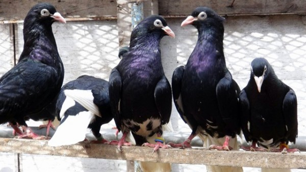 3 Katlı Villayı Güvercinlerine Yuva Yaptı